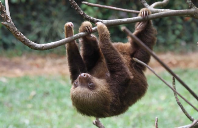 two toed sloth hanging form tree