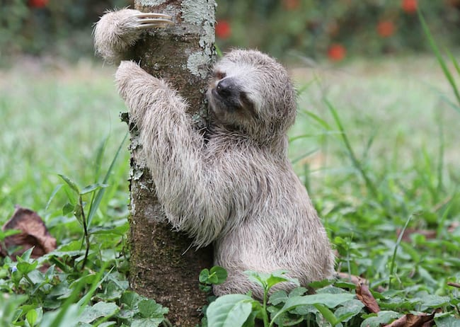 sloth doing a poo